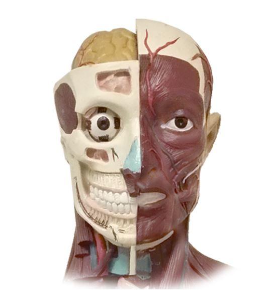 Human Anatomy Classes